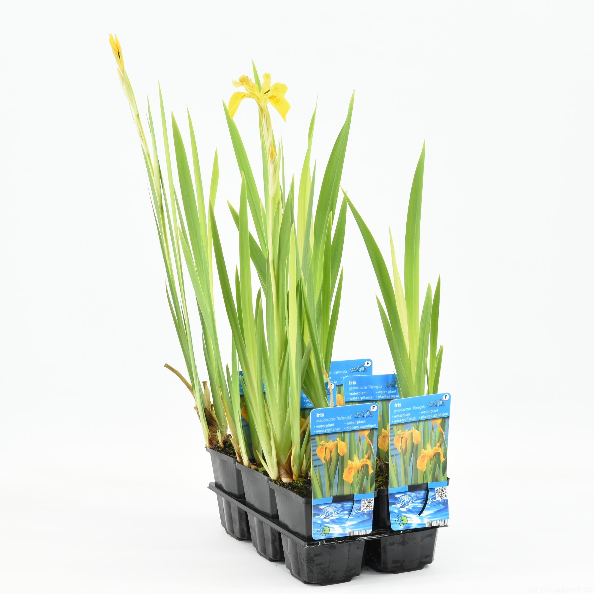 11210 P9 Iris pseudacorus 'Variegata' 20180510103714