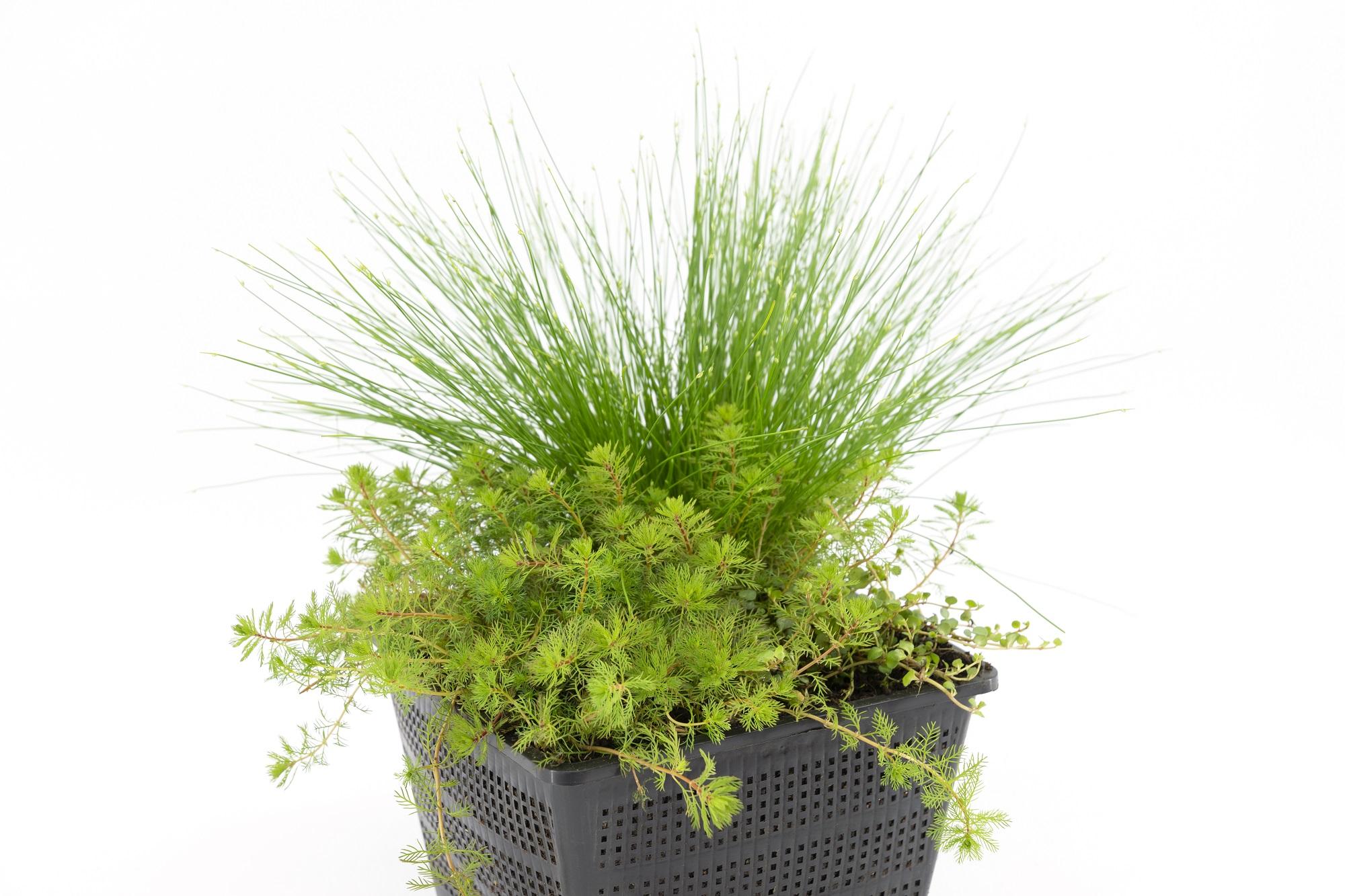 Zuurstofplanten voor 1m3 water