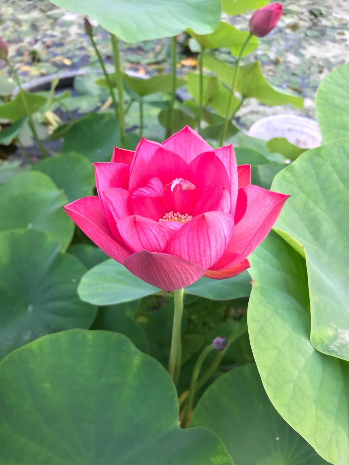 nelumbo roze
